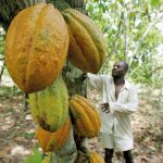 A plantation owner checks his cocoa trees in the village of Godilehiri, south-west Cote d'Ivoire PHOTO: Management Today